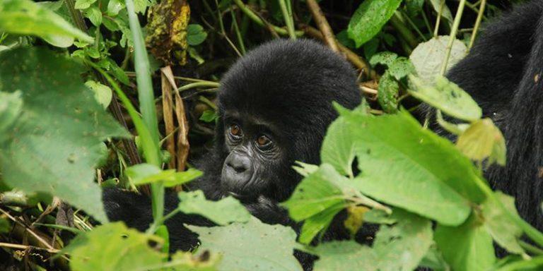 Safari e Trekking tra gorilla e scimpanzè in Uganda
